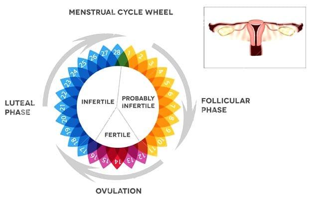 The Follicular Phase